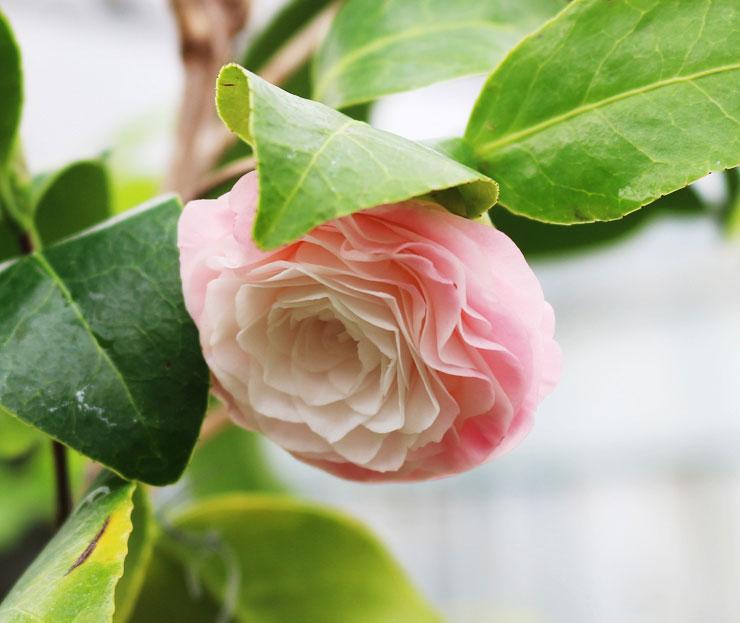 동백나무-미린다-2.jpg