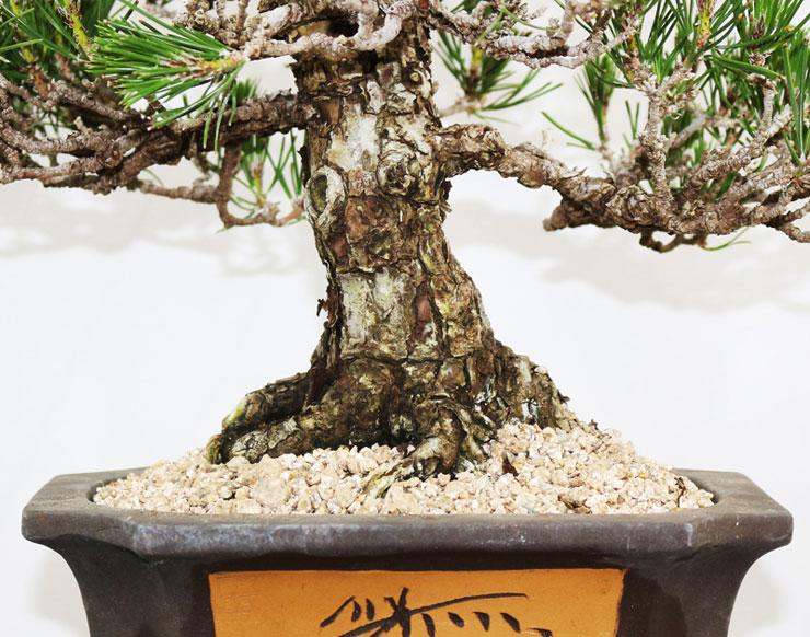 소나무-해송-분재-3.jpg