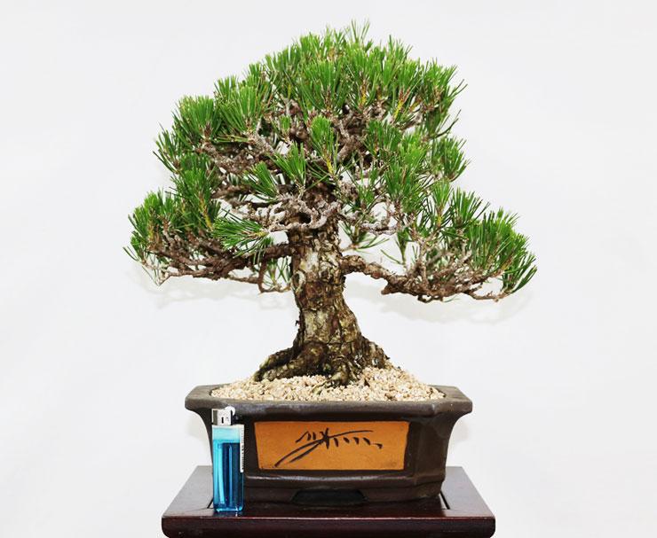 소나무-해송-분재-4.jpg