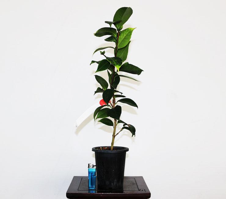 동백나무-데자이어-2.jpg