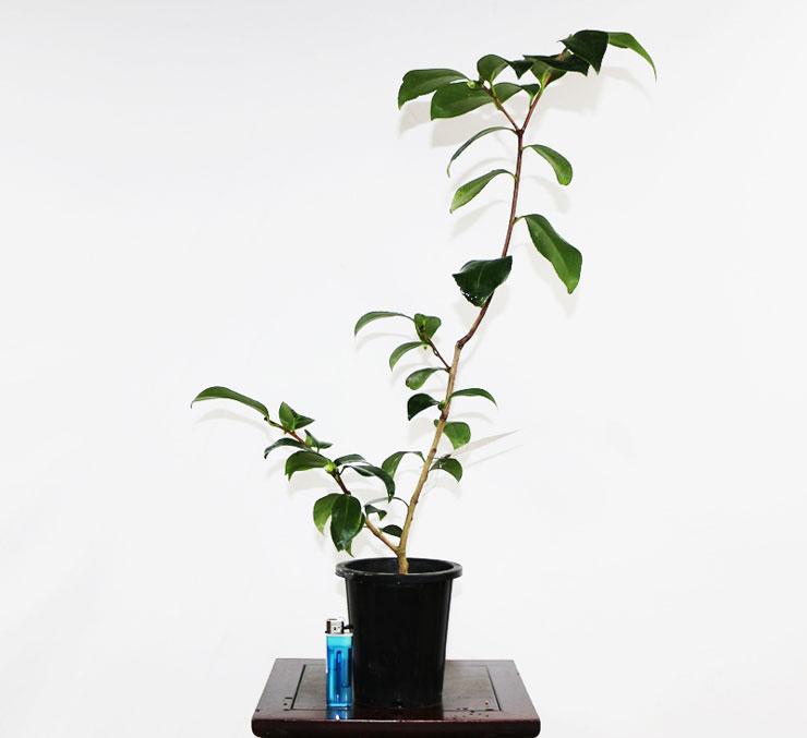동백나무-가고시마-2.jpg