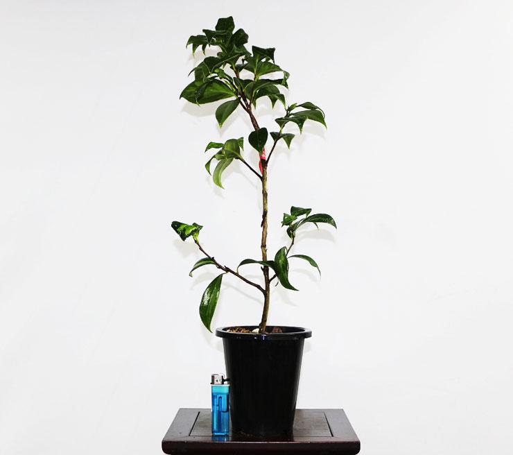 무늬-동백나무(조일노설)-3.jpg
