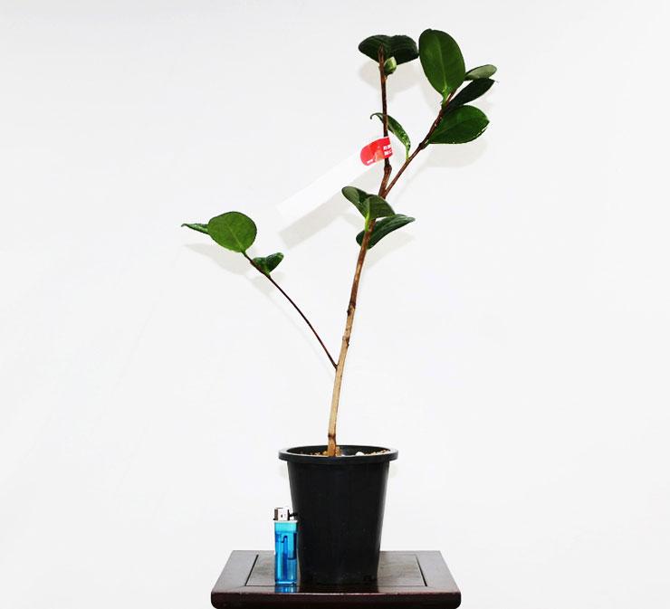 동백나무-헨리헌팅턴-2.jpg