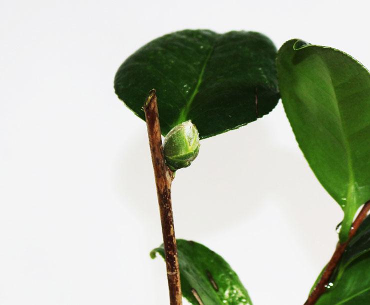 동백나무-헨리헌팅턴-1.jpg