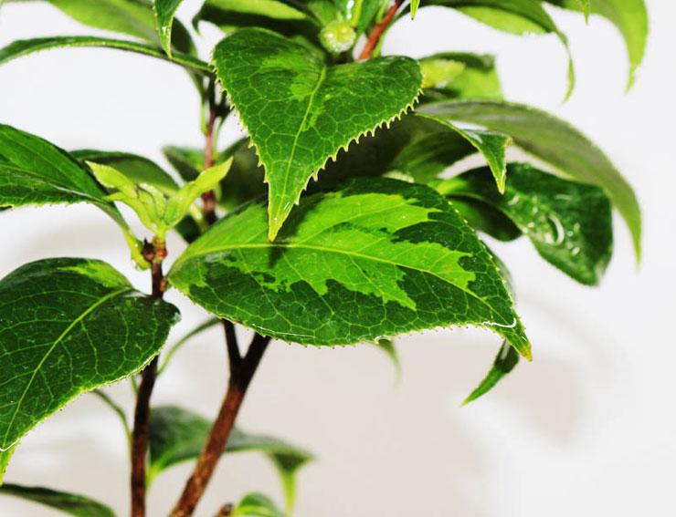 무늬-동백나무(조일노설)-2.jpg