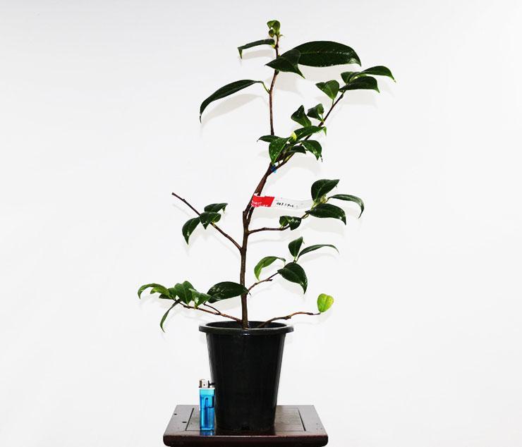 동백나무-로이스시너트-2.jpg