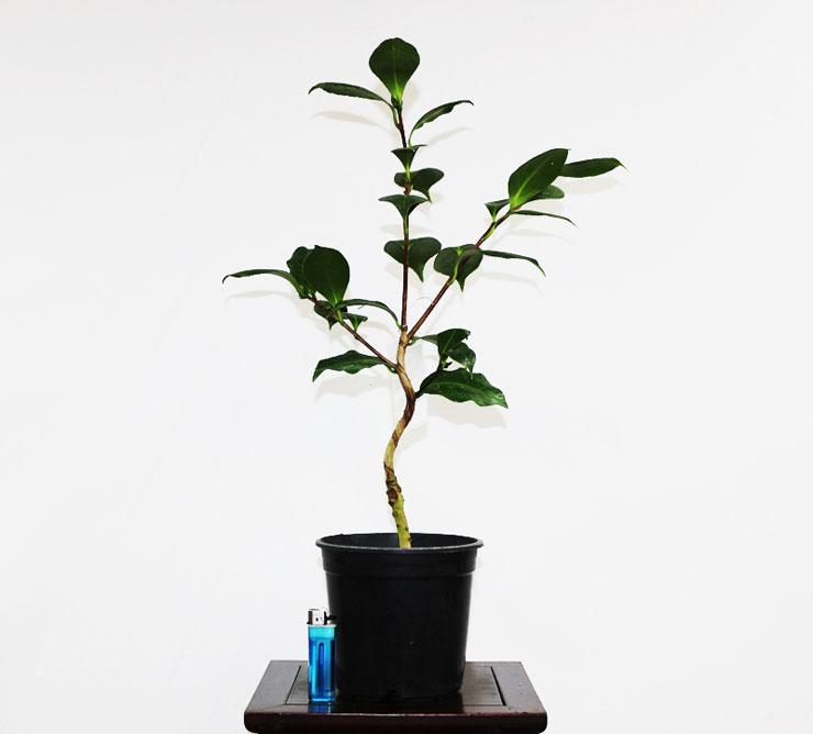 동백나무-대해륜-3.jpg