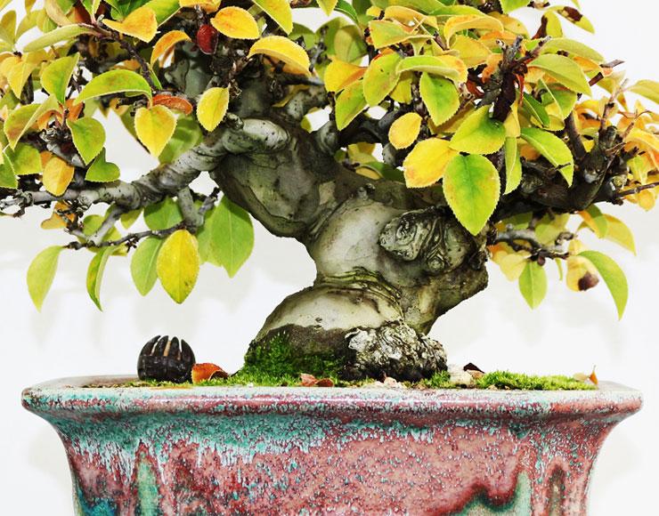 모과나무-분재-2.jpg