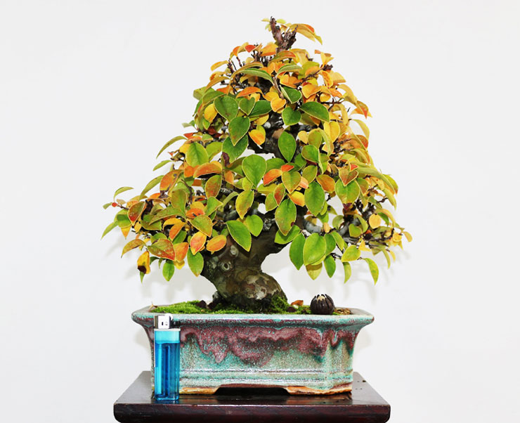 모과나무-분재-3.jpg