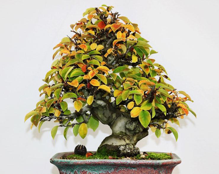 모과나무-분재-1.jpg
