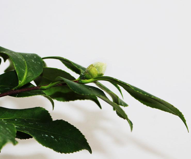 동백나무-채두-1.jpg