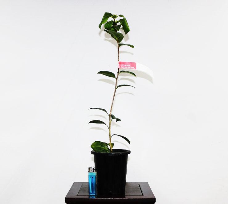 동백나무-을녀-3.jpg
