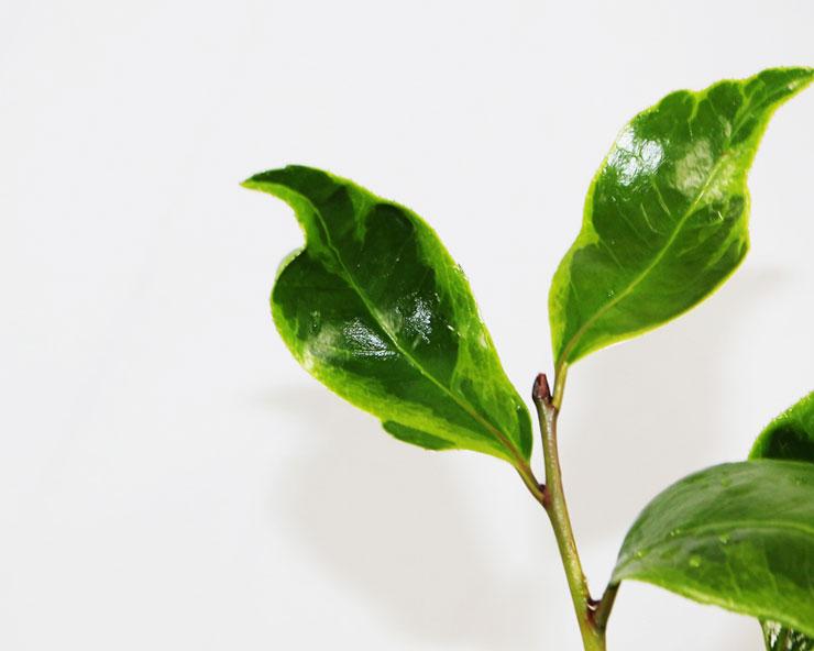무늬-동백나무-변천기리시오-2.jpg