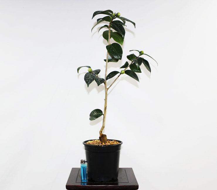 동백나무-금사-3.jpg