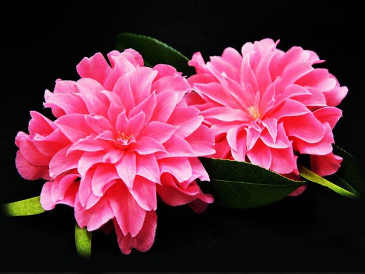 핑크다알리아-동백.jpg